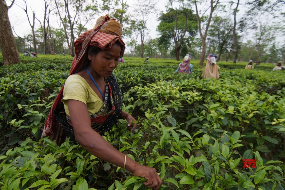 India Tea E-Auction Still A Mess