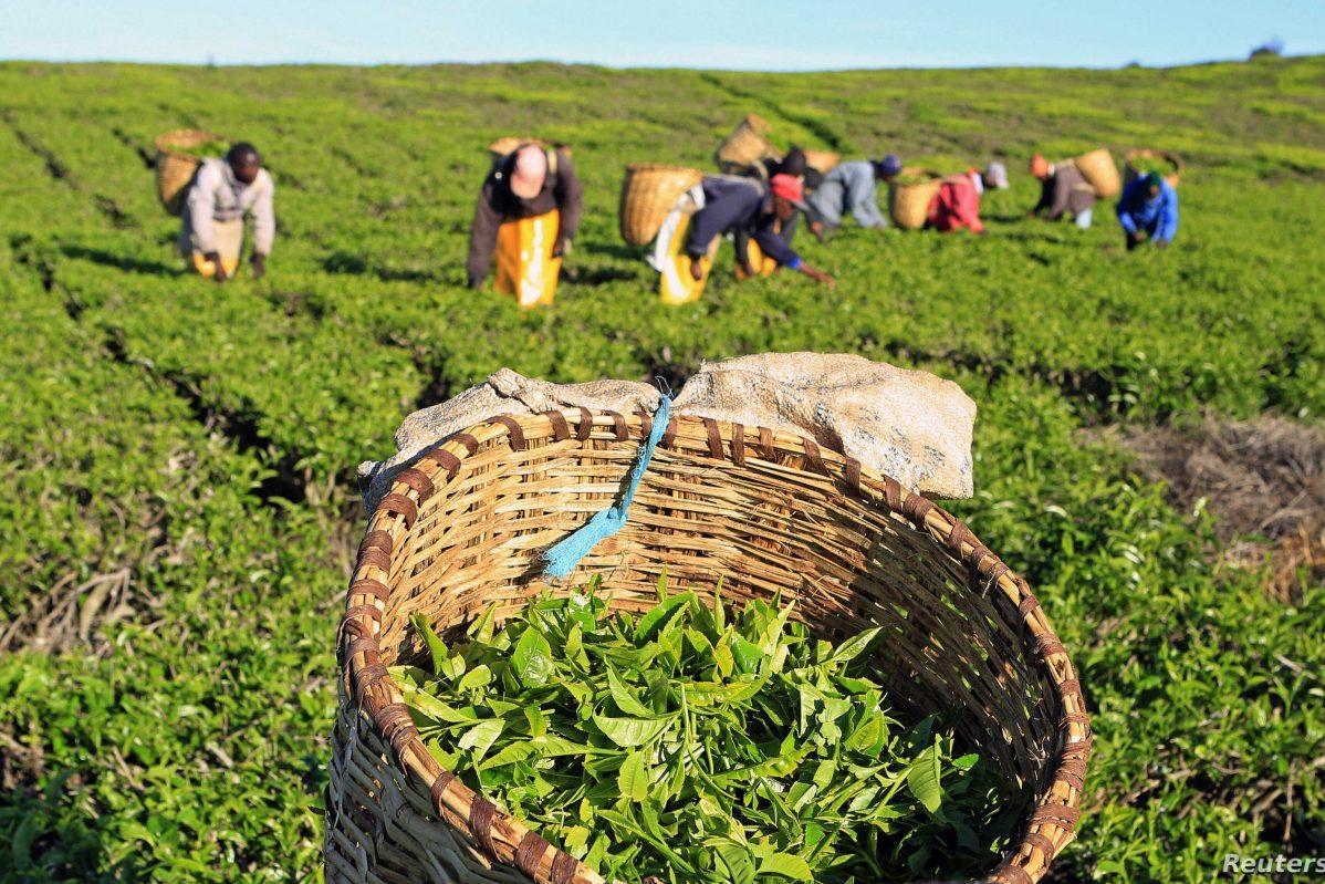 Kenya Prolonged Drought Lead to Tea Production Decrease