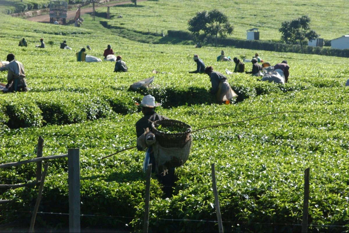 Global Tea Consumption Increased in 2020